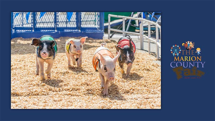 Marion County Fair - pigs