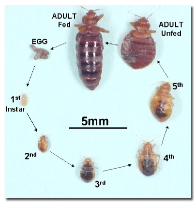 bud bug life cycle